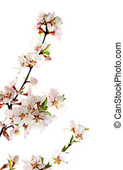 Pink cherry blossom - Branch with pink cherry blossoms...