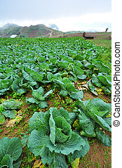 green cabbages in the agriculture fields