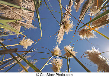 Cattail plants bloom with sun and flair - Sun rays and flair...