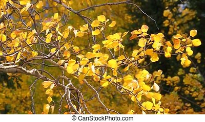 Aspen Leaves in Wind - Bright yellow aspen leaves flutter in...