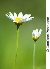 Daisies - One daisy opened and other closed
