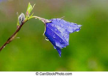 Bluebell close up from the side with waterdrops