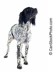 brittany spaniel - portrait of a brittany spaniel in front...