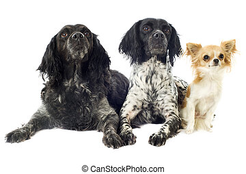 brittany spaniels and chihuahua - portrait of brittany...