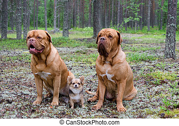 Three dogs in the forest - Three dogs in the pine forest