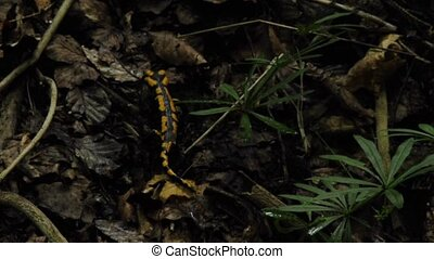 salamander in a forest
