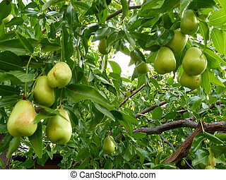 Jujube fruits on the tree, ready to be picked up.