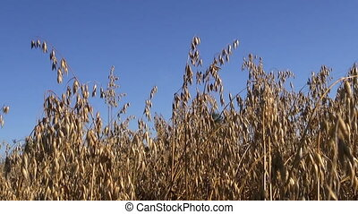 farm oats corn field in autumn and sky background