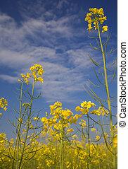 Oilseed rape - Low angle oilseed rape field