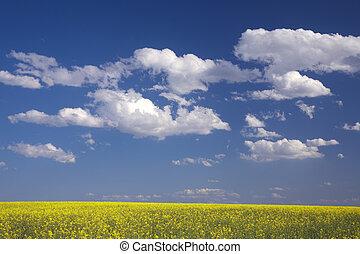 Oilseed rape field in bloom