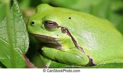 European tree frog - Hyla arborea when sunbathing - macro...