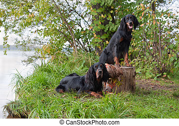 Two gun dog near to trophy, outdoors - Two gun dog near to...