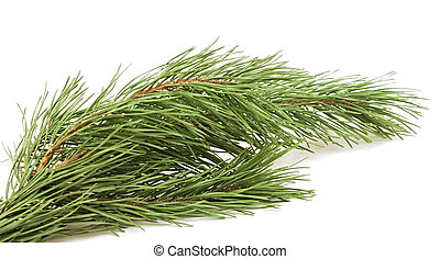 evergreen fir tree branch on a white