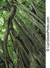 Tree Roots - A Banyan tree in Florida. A good image for use...