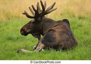Scandinavian Elk - Elk. Image taken in Finland