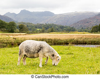 Sheep in front of Langdale Pikes in Lake District - Sheep...