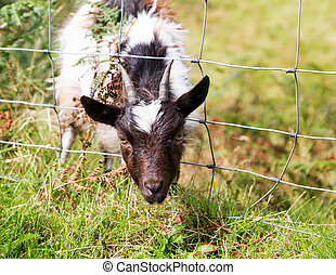 Head of lamb or sheep stuck in wire fence - Head of lamb or...