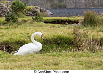 Swan by Wast Water in Lake District - White swan by...