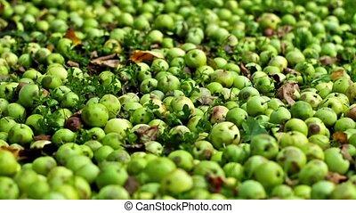 Crop of autumn apples