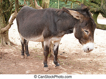 Casual Mule Donkey standing - A mule or donkey ass looking...