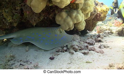 Blue Spotted Stingray on the reef - Blue Spotted Stingray on...