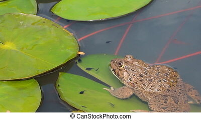 Toad in water lily pond - Toad sitting on green water lily...