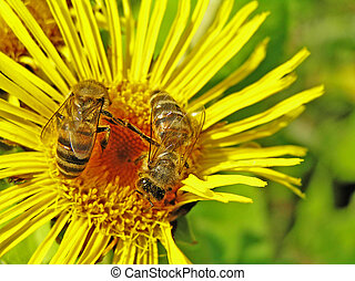 Bee on an elecampane - Pollen and nectar which bees take,...