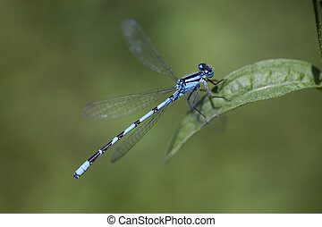 Blue damsel fly on leaf - This damsel fly is just coming to...