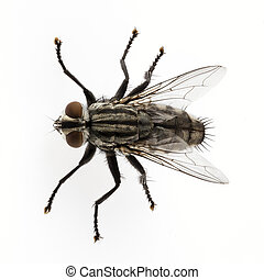 Flesh fly species sarcophaga carnaria isolated on white...