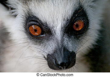 Closeup of a ring-tailed lemur