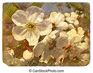 old postcard with a few cherry blossoms. Old postcard,...