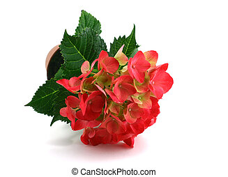 Hydrangea - The big red inflorescence of a hydrangea