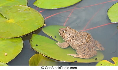 Toad surrounded by swimming tadpole - Toad sitting on green...