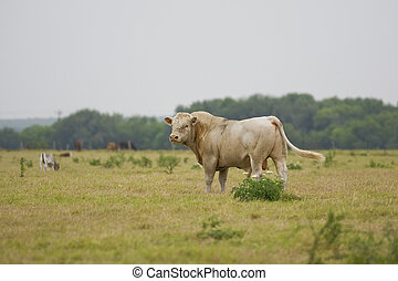 Charolias Bull grazing in the pasture