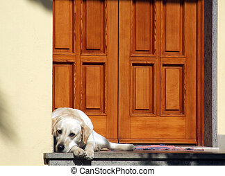 Dog in front of the door - White dog in front of a...