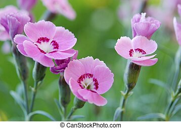 pink carnations - Close-up of pink carnations against green...