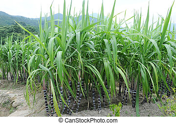 Green plant of sugarcane