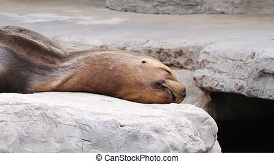 Seal - Fur seal lying on the shore