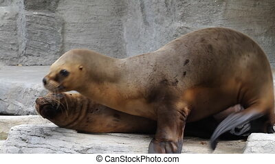 Seals - Two fur seals play on the rock