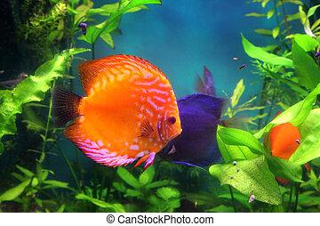 red discus fish in aquarium underwater