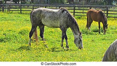 Appaloosa Horse Grazing in Buttercup Filled Pasture - This...