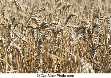 View in a wheatfield - Nahaufnahme von reifen Aehren auf...