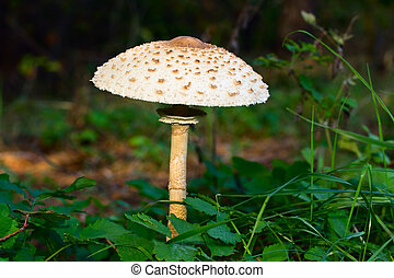 Parasol Mushroom (Macrolepiota procera) in the forest.