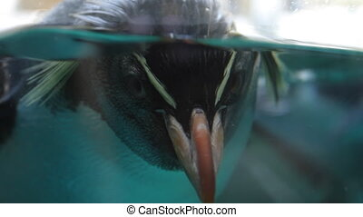 Macaroni penguin in the aquarium