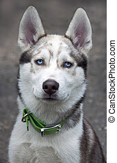 Portrait of a beautiful Siberian Husky puppy