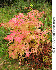 Bush aruncus dioicus in autumn