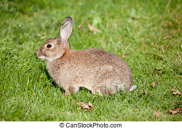 Wild Rabbit - Photo of a wild rabbit in a field