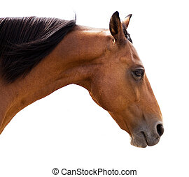 Beautiful Morgan Horse Gelding On Isolated White Background...