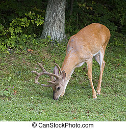 Grass grazer - whitetail buck with ten points in velvet...