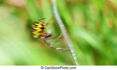 Wasp spider spins a prey